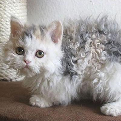 Kattelopper behandling